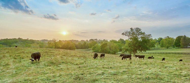cows-grazing-sunset-grass-fed-versus-grain-fed-ss-Featured