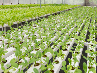 Hydroponics - Easy solution for soilless agriculture greenschoolsgreenfuture
